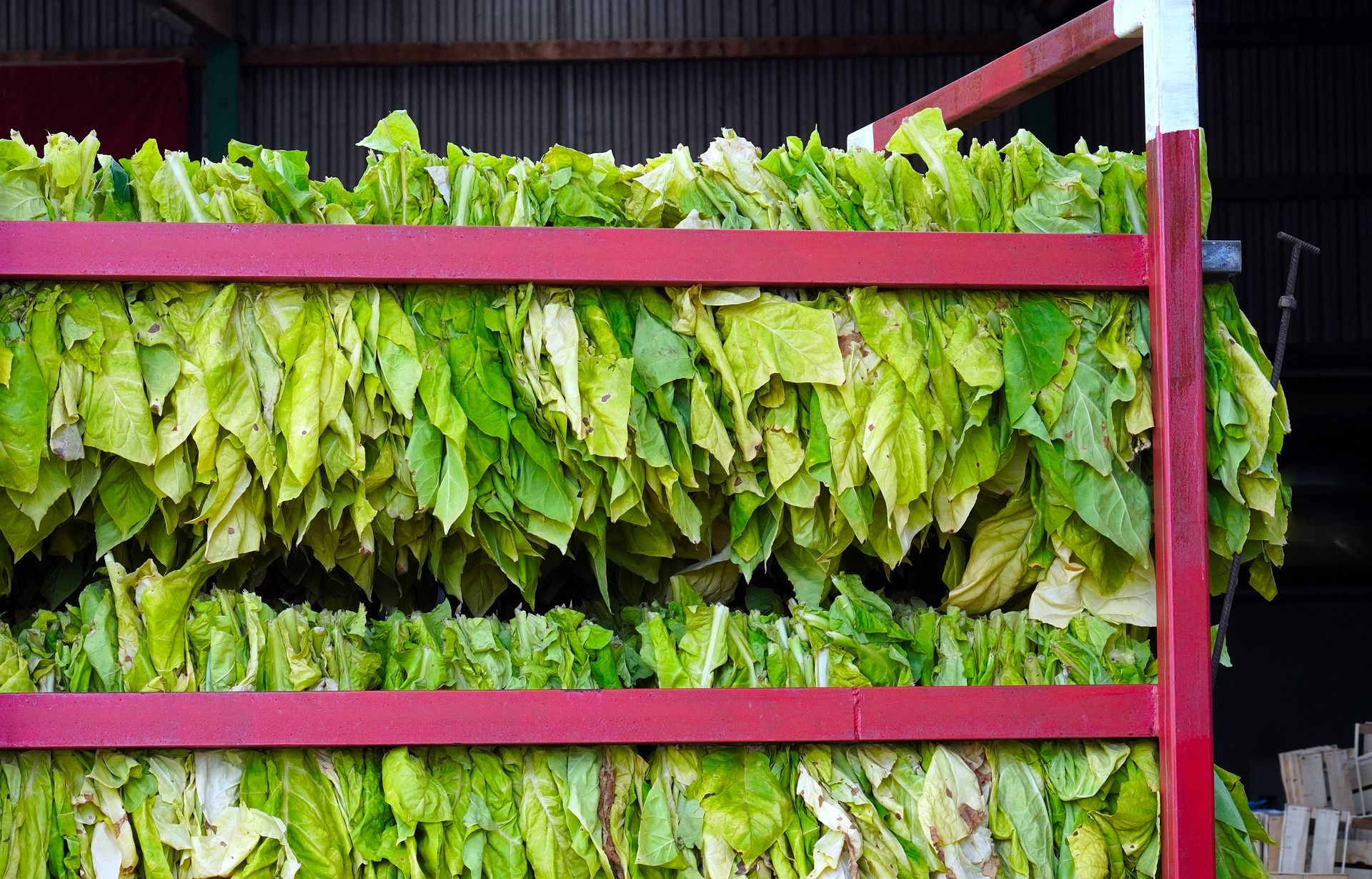 The Hard Facts About TSNAs In Tobacco